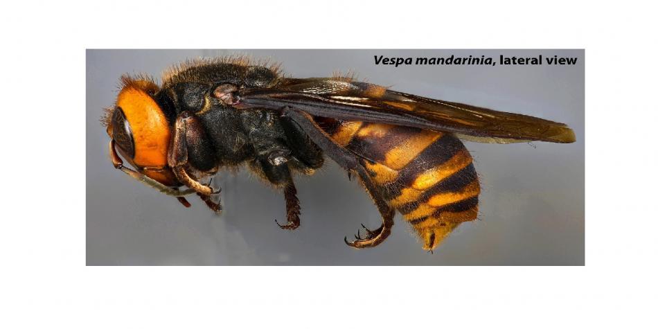 Asian giant hornet (Vespa mandarinia). Photo by Matthew L Buffington, ARS. ARS Image Gallery Image Number d4467-1. https://www.ars.usda.gov/oc/images/photos/aug20/d4467-1/