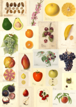 U.S. Department of Agriculture (USDA) Pomological Watercolor Collection